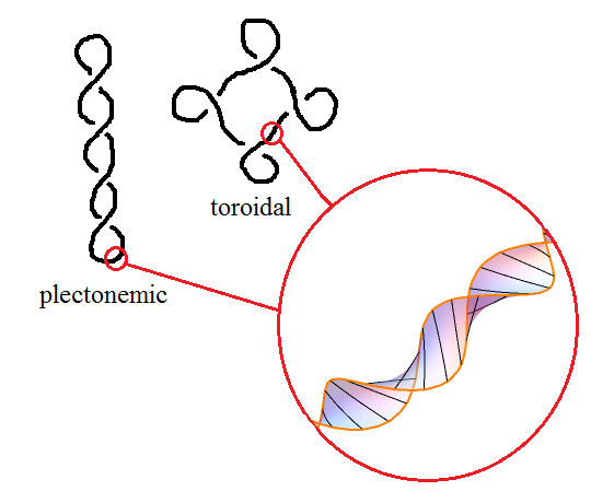 plectoneme-torus